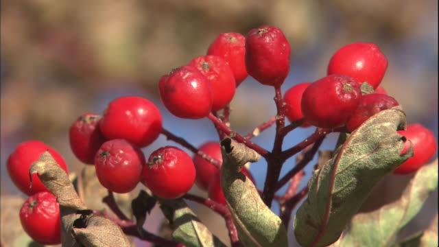 Red berries of the Japanese Rowan grow in the Northern Japan Alps in Gifu, Japan.