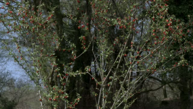 Red berries on a bush swaying in the wind in rural Scotland