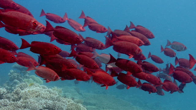 Red bigeye (Priacanthus macracanthus) shoal. Filmed in Abu Nuhas, Red Sea
