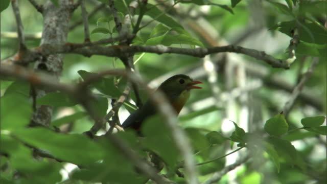 red billed leiothrix (leiothrix lutea) sings in forest, hawaii - grasmückenartige stock-videos und b-roll-filmmaterial