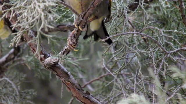 red billed leiothrix - nightingale bird stock videos & royalty-free footage