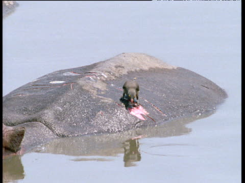 red billed oxpecker on back of hippo, hops to wound on back and feeds on/cleans wound, africa. - 怪我点の映像素材/bロール
