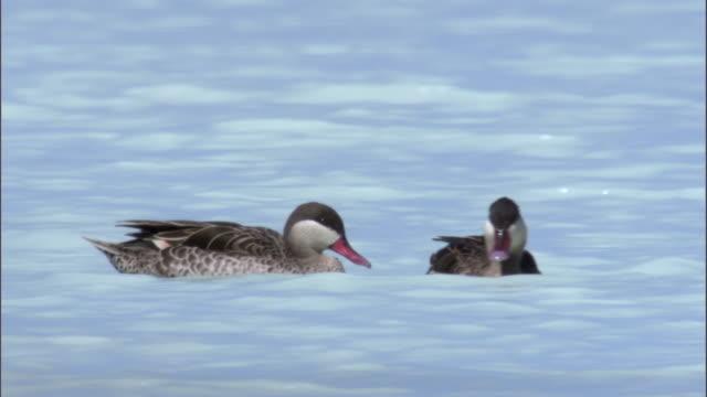 red billed teal (anas erythrorhyncha) ducks swim on lake tsimanampetsotsa, madagascar - teal stock videos & royalty-free footage