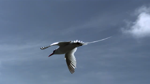 slomo red billed tropicbird flies over coast, trinidad - tierflügel stock-videos und b-roll-filmmaterial