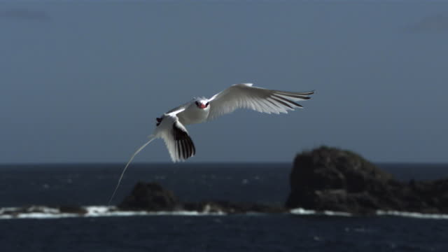 slomo red billed tropicbird flies over coast, trinidad - bird stock videos & royalty-free footage