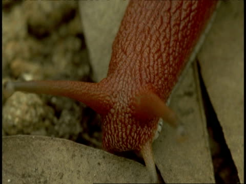 cu red bodied snail moving on branch, leaving snail trail, western ghats, india - 触角点の映像素材/bロール
