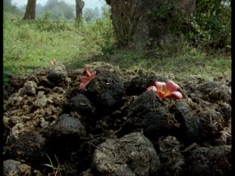 vídeos y material grabado en eventos de stock de ms red bombax tree flower falling onto large pile of rhinoceros dung, flies, india - excremento