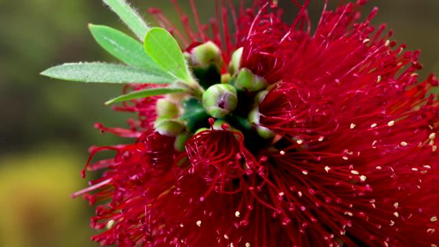 vídeos de stock, filmes e b-roll de red bottlebrush growing - arbusto tropical
