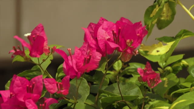 vídeos de stock, filmes e b-roll de red  bougainville flowers, taj mahal, india - arbusto tropical
