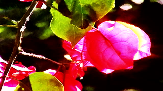 red bougainvillea blows in a california breeze. - impressionism stock videos & royalty-free footage