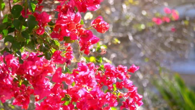 Red bougainvillea in bloom in slow motion in 4k