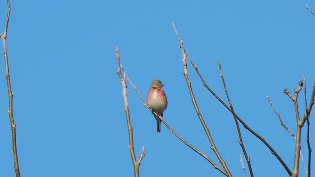 red breasted bird singing on the twig - twig stock videos & royalty-free footage