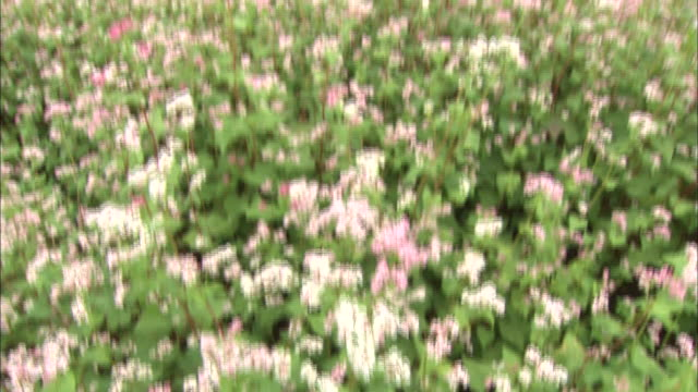 Red buckwheat flowers grow in a field in Nagano, Japan.