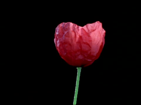 t/l cu red bud opening to poppy flower, then dying, black background - poppy plant stock videos and b-roll footage