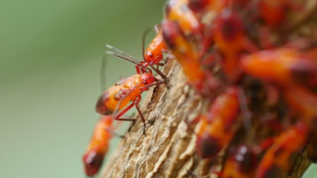 vídeos de stock, filmes e b-roll de red bug chupando a forma da árvore. - inseto
