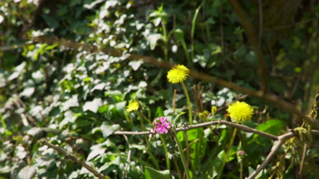 red campion flower and dandelions on woodland floor - dandelion stock videos & royalty-free footage