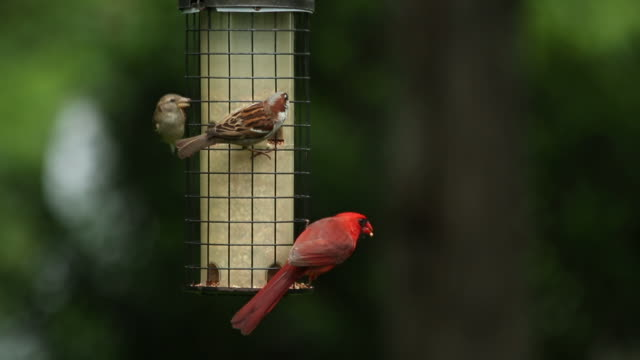 Red cardinal and house sparrow eat from bird feeder