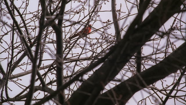 stockvideo's en b-roll-footage met ms red cardinal bird in bare tree branches / washington, d.c., united states - bare tree
