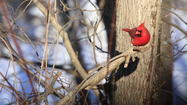 Red cardinal bird looking for seeds during winter season.