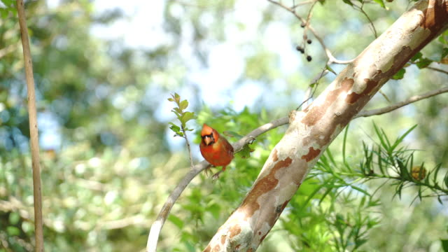 red cardinal in tree - close up - springtime stock videos & royalty-free footage