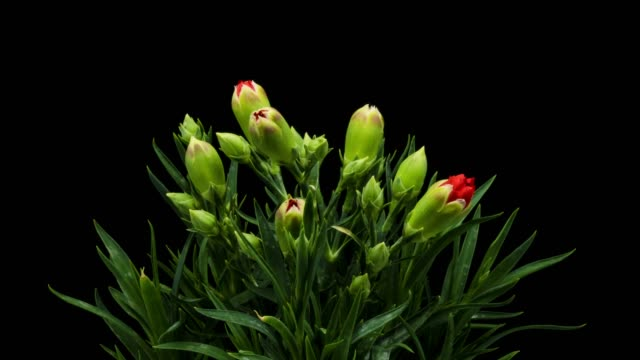 red carnation blooming timelapse - carnation flower stock videos & royalty-free footage