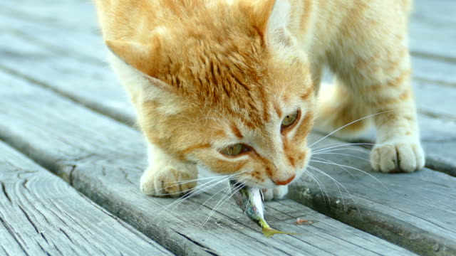 red cat on the pier with appetite eating fish - board shorts stock videos and b-roll footage