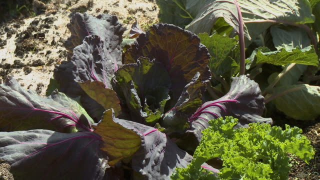 red chard leaves in garden - lettuce stock videos & royalty-free footage