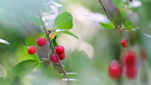 vidéos et rushes de cerises rouges s'accrochant à une branche d'arbre - arbre à feuilles caduques
