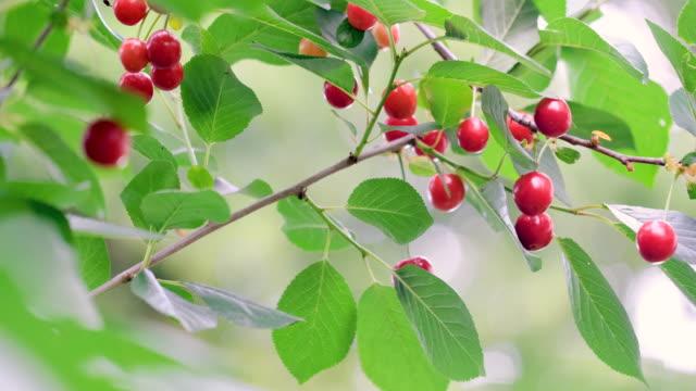 vidéos et rushes de cerises rouges s'accrochant à une branche d'arbre - brindille