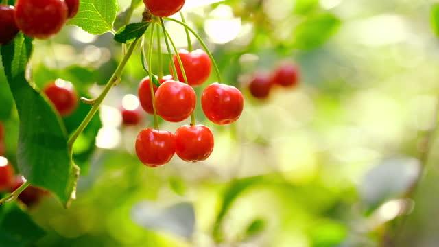木の枝にぶら下がっている赤いサクランボ - 六月点の映像素材/bロール