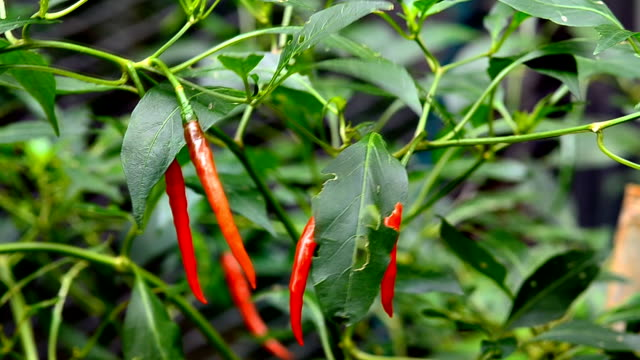peperoncino rosso su albero - chilli con carne video stock e b–roll