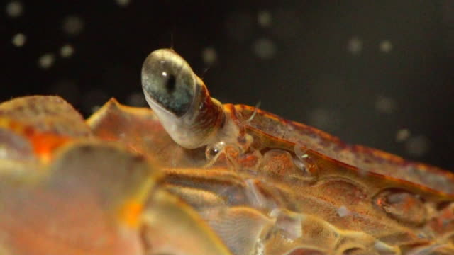 red clawed crab spawns larvae (hadonggun,south korea) - crab stock videos & royalty-free footage