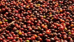 Red Coffee beans berries and Drying Process