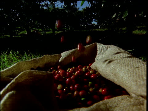 red coffee berries fall into sack trees in background africa - sack stock videos & royalty-free footage