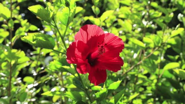 CU Red color Hibiscus, Disambiguation / Ogasawara Islands, Tokyo, Japan