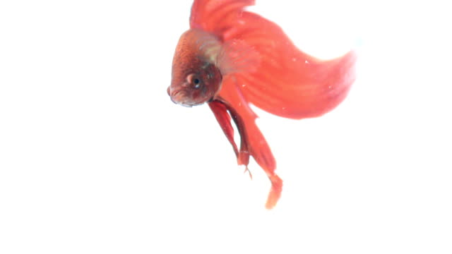 red color siamese fighting fish with beautiful tail - tail fin stock videos & royalty-free footage
