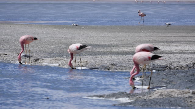 Red colored Flamingos in Atacama dessert