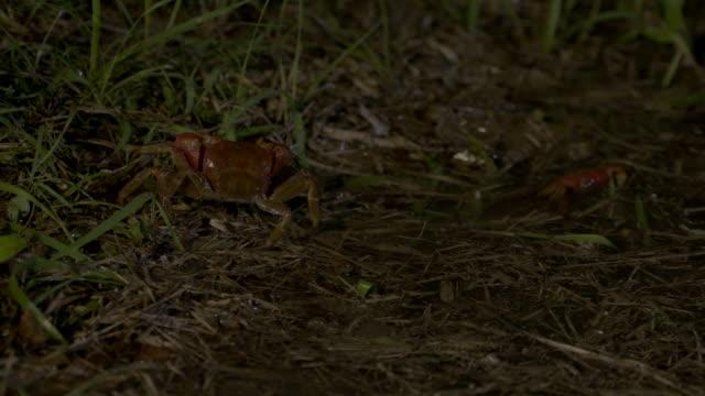 vidéos et rushes de red crab in grass. - crabe
