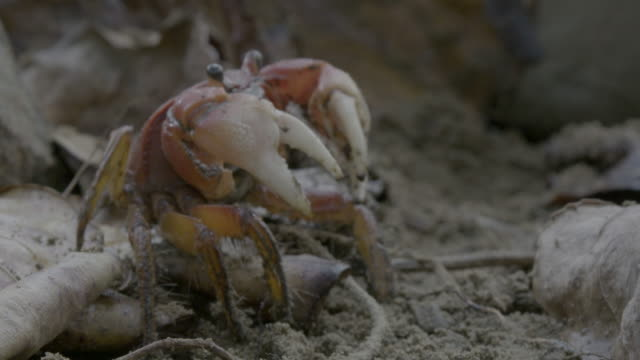 red crab retreating under leaf - crab stock videos & royalty-free footage