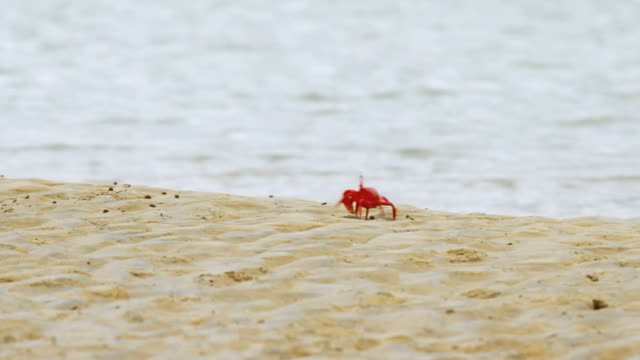 Red Crabs Migration