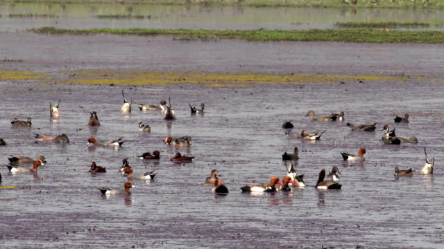 red crested pochards and lesser whistling ducks foraging in water - duck stock videos & royalty-free footage
