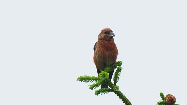 red crossbill perched on fir branch and singing - twig stock videos & royalty-free footage