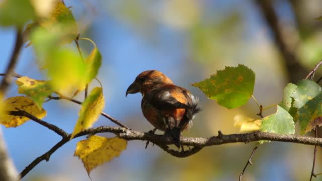アルタイ自然保護区の木の上に座っている赤いクロスビル(ロクシア・クルビロストラ) - 雛鳥点の映像素材/bロール