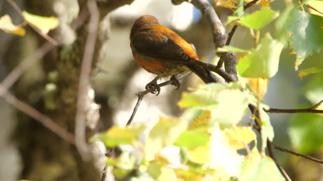 red crossbill (loxia curvirostra) sitting on the tree in altay nature reserve - pinaceae stock videos & royalty-free footage