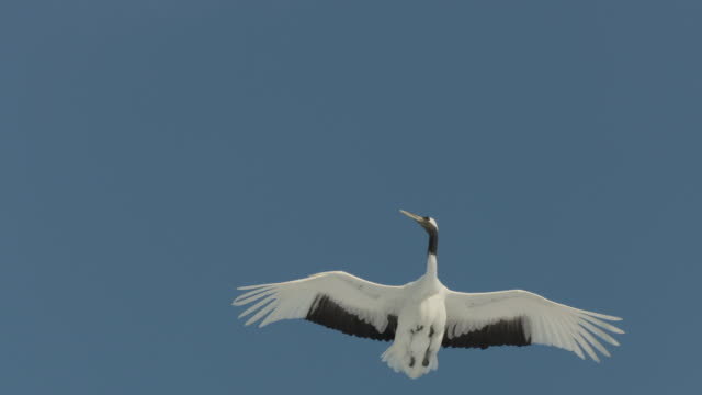 Red crowned crane (Grus japonensis) flies overhead. Japan