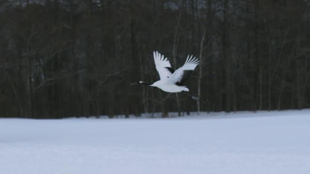 red crowned crane flying in japan - crane stock videos & royalty-free footage