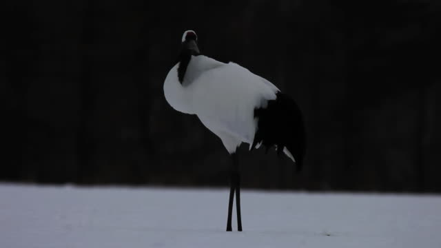 ms red crowned crane sleeping at snow / tsurui, japan - ツル点の映像素材/bロール