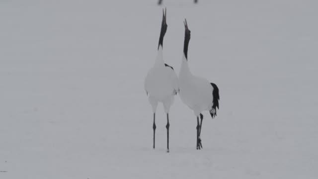 red crowned cranes (grus japonicus) display in snow. japan. - ツル点の映像素材/bロール