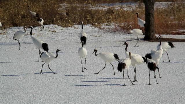 red crowned cranes, hokkaido, japan, asia - ツル点の映像素材/bロール