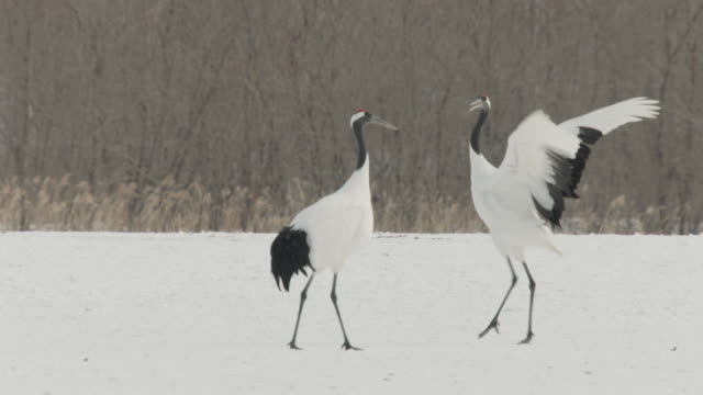 red crowned cranes (grus japonensis) jump and display in snow. japan - ツル点の映像素材/bロール
